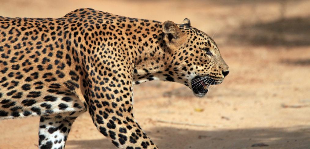 safari Yala, Safari Sri Lanka, safari Asia, viaje a medida Sri Lanka, mayorista viajes por Sri Lanka